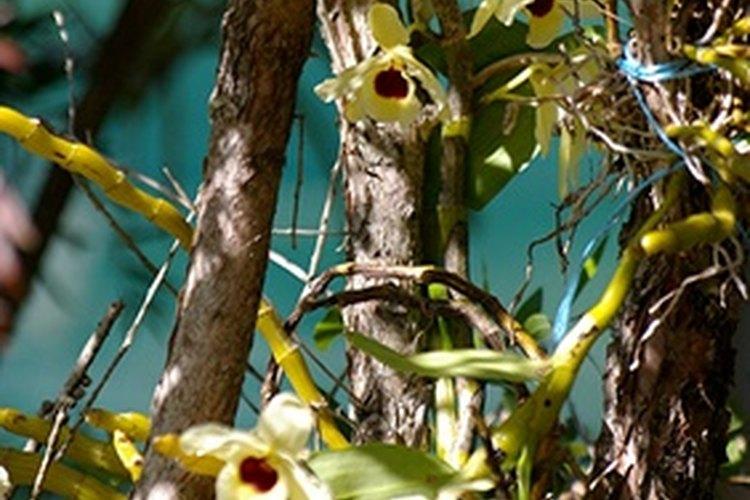 Orquídeas epifíticas en su hábitat natural.