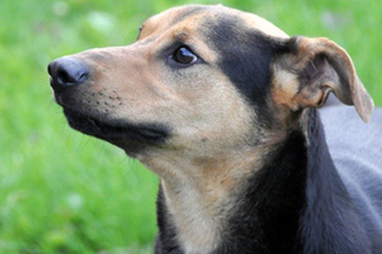 Una nariz caliente no es siempre una indicación de que un perro tenga fiebre o esté enfermo.