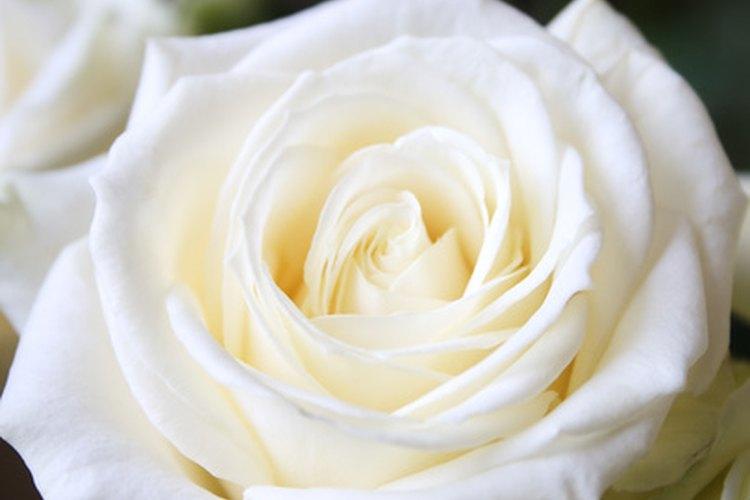 Qué Representa Una Rosa Blanca