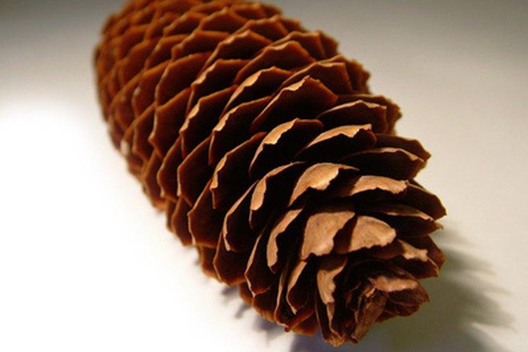 Una piña de color marrón significa que las semillas están maduras.