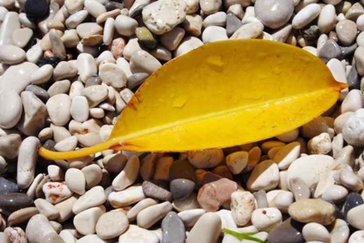 Hoja amarilla de un árbol de caucho.