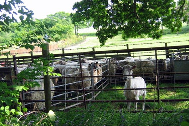 Administrar una granja de ovejas puede ser muy fácil.
