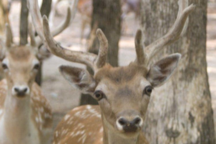 Las cornamentas de ciervo es valiosa por sus propiedades regenerativas.