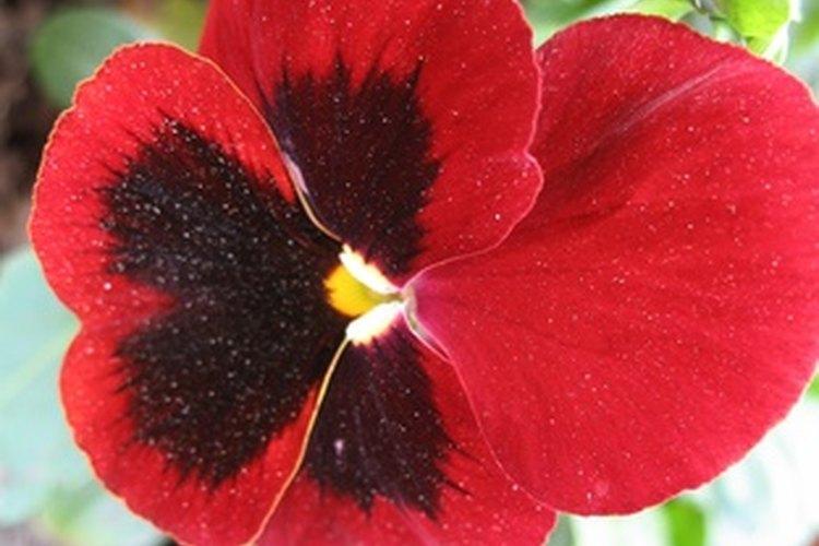 """Los pensamientos significan """"pensando en tí"""" en el lenguaje de las flores."""