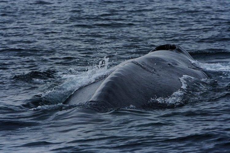 Ciclo vital de la ballena azul.