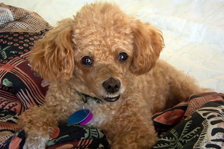 Los Poodles son una de las razas que tienen pelo en vez de pelaje.