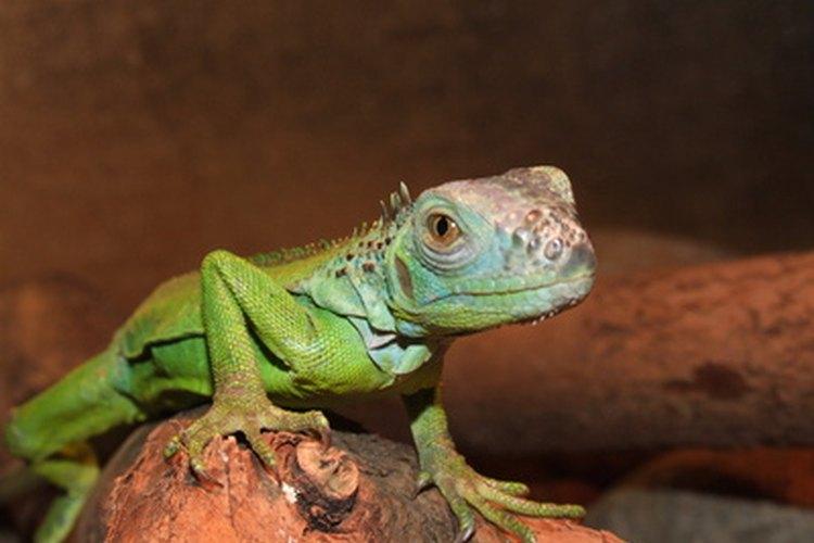 Los reptiles se pueden dividir por lo menos en cuatro tipos.