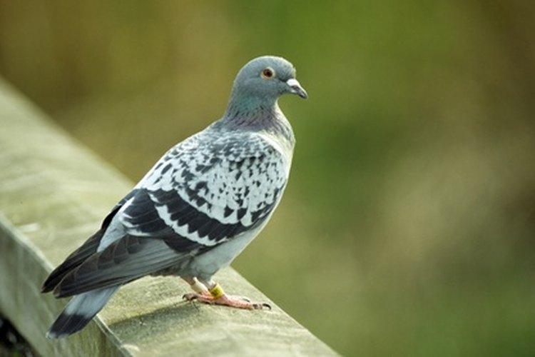 Las palomas mensajeras transportaron mensajes durante la Primera Guerra Mundial.