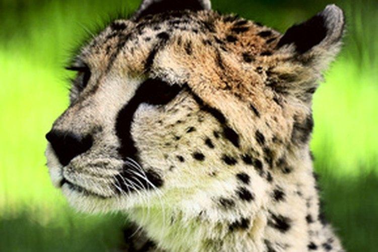 Uno de los animales en mayor riesgo, quedan solamente unos 40 leopardos de Amur.