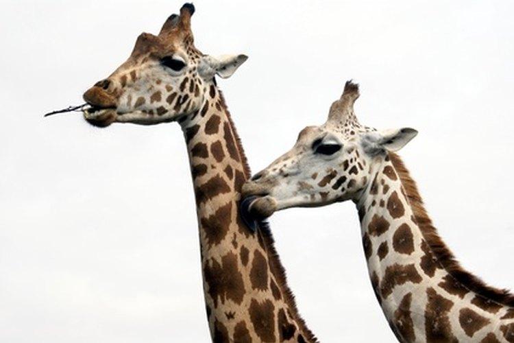 Hay nueve diferentes subespecies de jirafas que viven en África.
