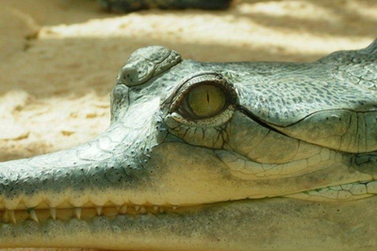 Los cocodrilos pueden mover sus órganos para permitir la expansión pulmonar.