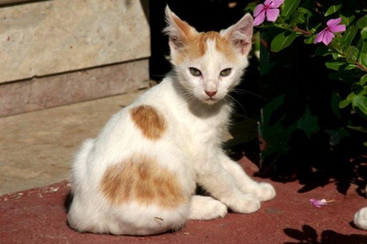 Los gatos salvajes pueden convertirse en mascotas amorosas.