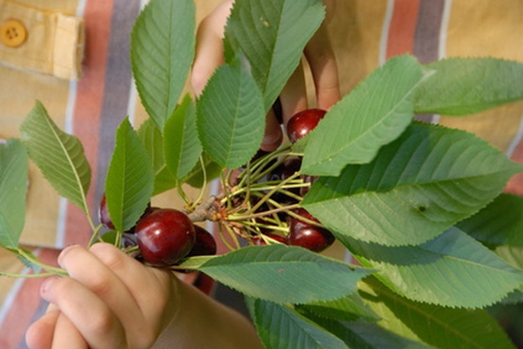 Planta la semilla de cereza estratificada directamente en la tierra.