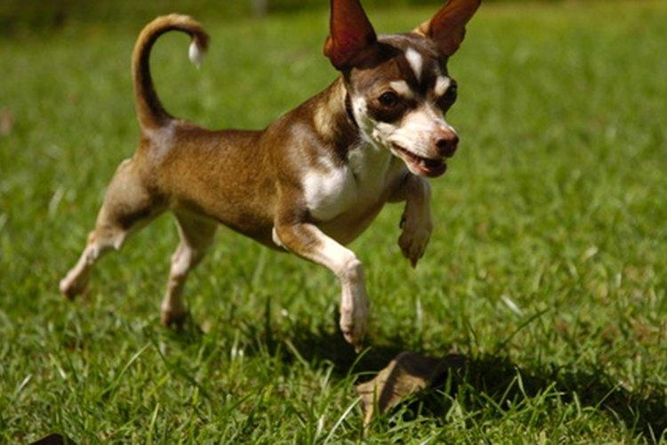 Consulta al veterinario si tu perro tiene un prolapso rectal.