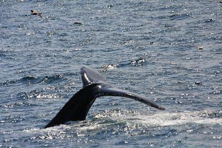 Muchas sociedades continúan utilizando elementos hechos a base de partes de ballenas.