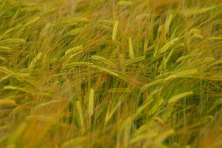 La cebada produce retoños comestibles.