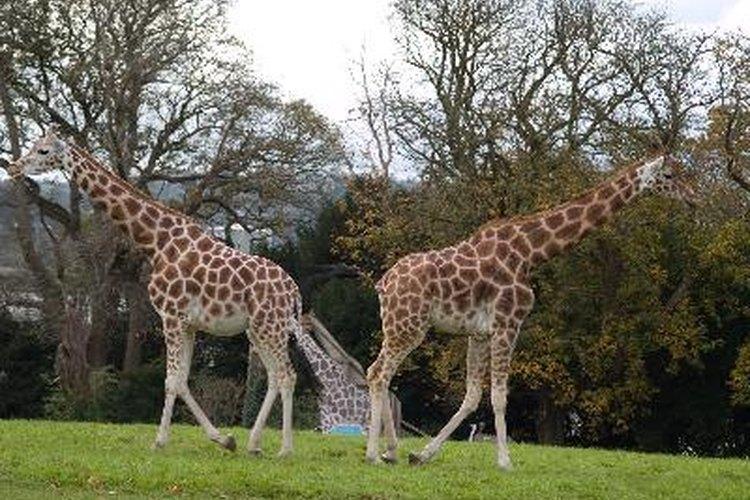 Las jirafas son los mamíferos más altos del mundo.