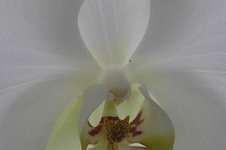 La orquídea blanca es tanto sensual como pura.