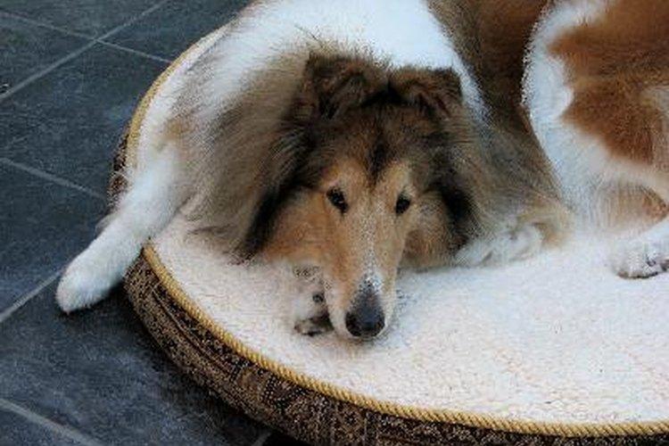Las vacunas contra la rabia pueden crear reacciones adversas en los perros que van desde una simple fiebre hasta ataques que les produzcan la muerte.