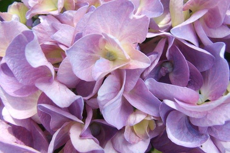 Las flores individuales duran por semanas, mientras las plantas reemplazan las flores viejas con otras nuevas.