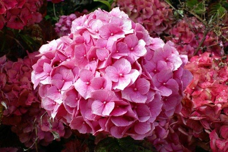 Las épocas de floración de las  hortensias varía según la especie.