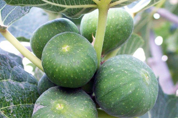Las higueras desarrollan frutos de gran tamaño, incluso la enana.