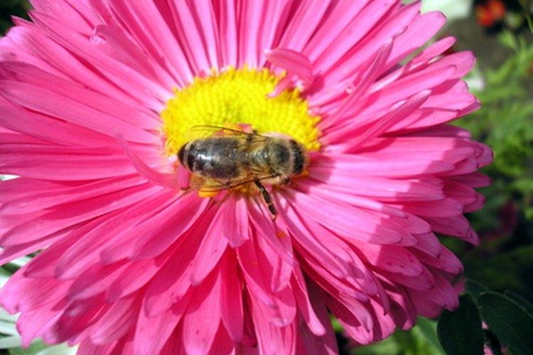 Las abejas son conocidas como polinizadoras por su asistencia en la reproducción de plantas y flores.