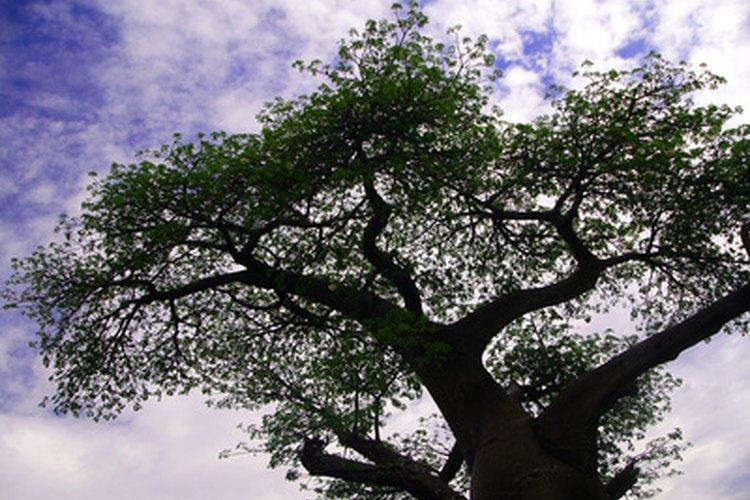 Un arbol Baobab.
