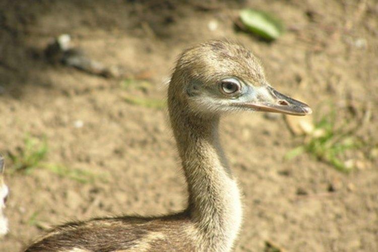 El avestruz macho utilizará tácticas para defender a sus pollitos.