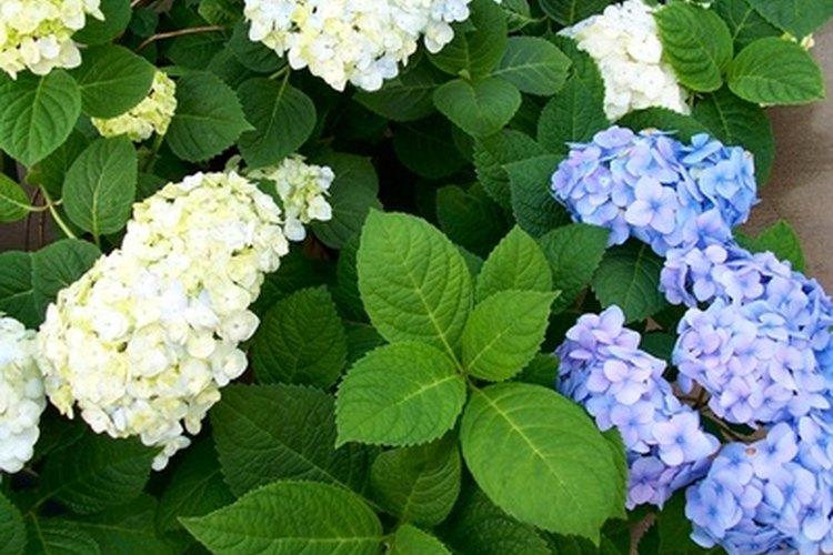 Las hortensias tienen unos de los períodos más largos de floración.