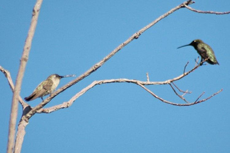 Aprende cómo se aparean los colibrís.