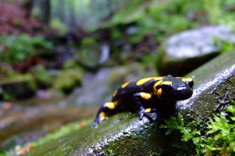 La salamandras utilizan la regeneración celular para hacer que crezcan de nuevo partes de su cuerpo perdidas.
