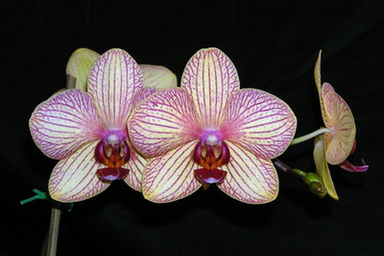 """La gracia y el color exótico de las orquídeas parece decir """"Me vería de maravilla en tu mesita""""."""