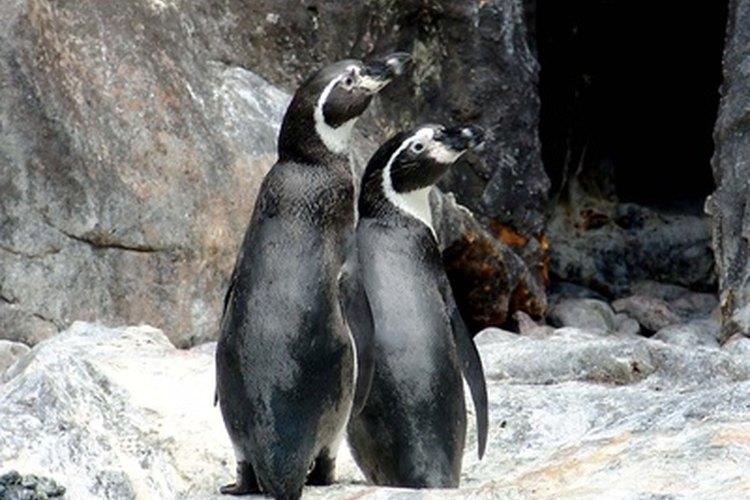 ¿Cómo respiran los pingüinos debajo del agua?