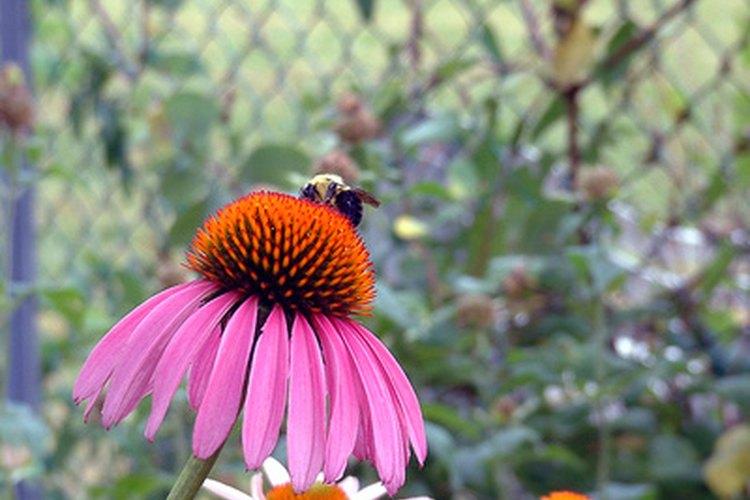 Una abeja polinizando una flor cónica.