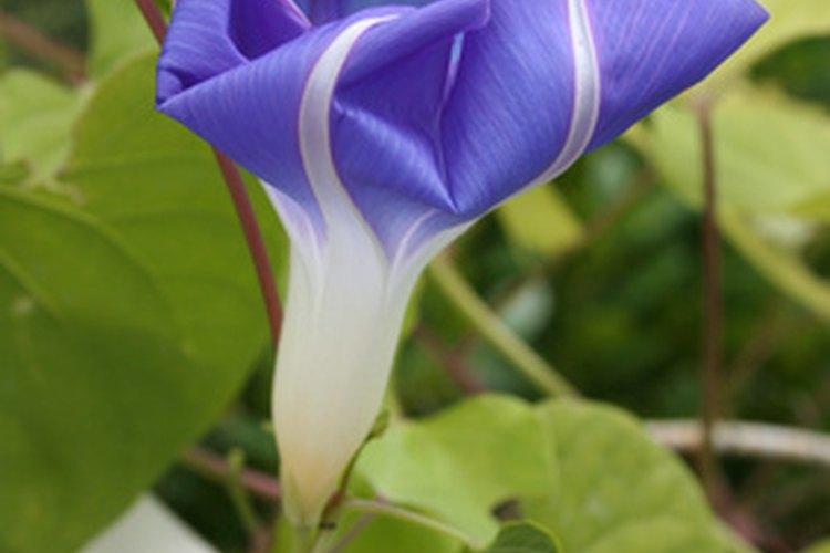 La flor de Morning Glory va desde el color celeste hasta el púrpura.