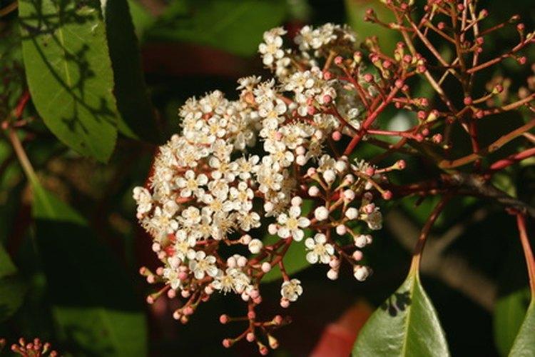 El arbusto Fotinia tiene flores blancas.