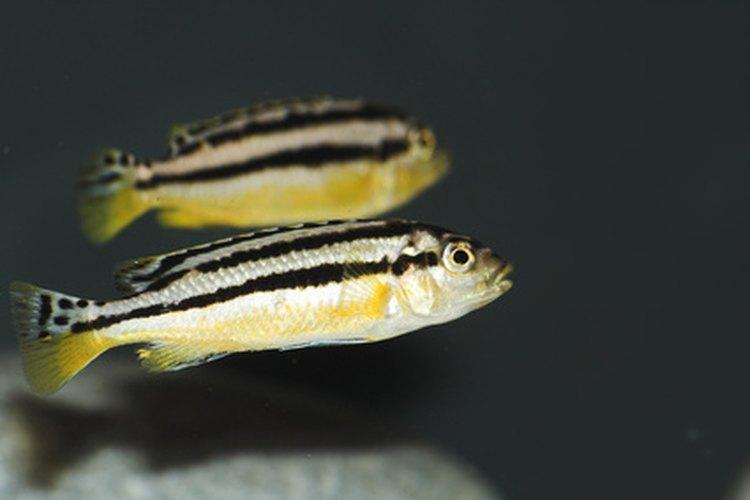 La vida de un pez comienza con una célula que mide 0,7 mm de diámetro