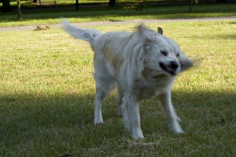 Los golden retrivers que ya son adultos jóvenes seguirán actuando como cachorros.