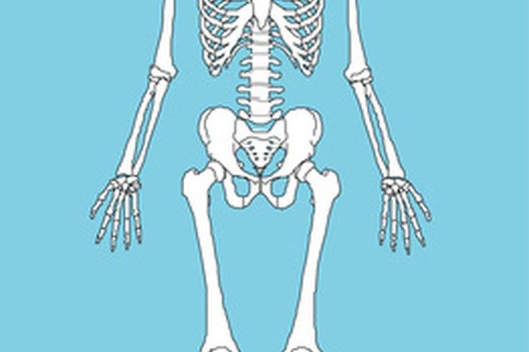 El esqueleto humano proporciona la forma al cuerpo.