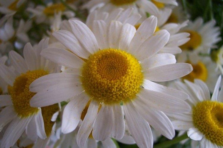 Las margaritas suelen ser blancas con discos centrales amarillos.