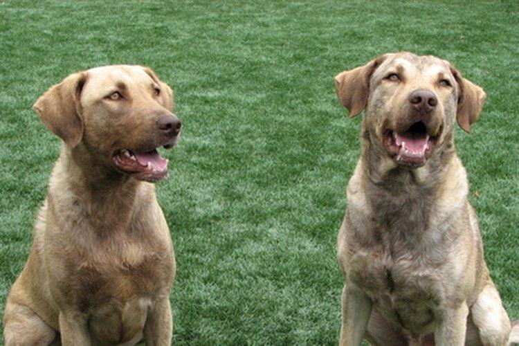 Conoce los tipos de hernias que pueden presentar los perros.