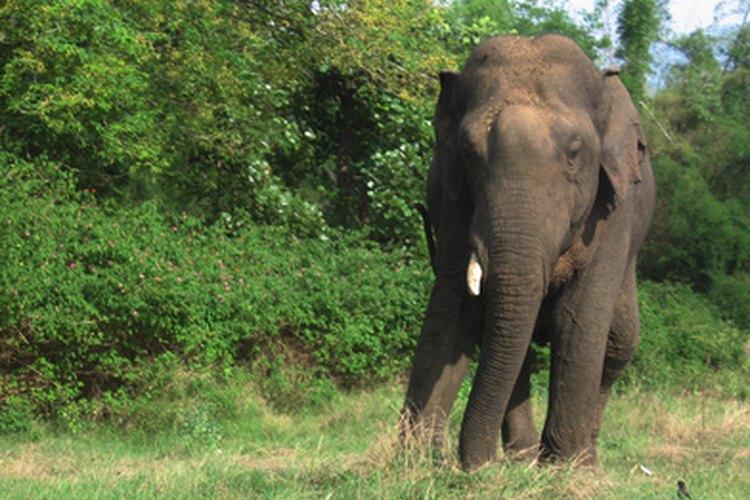 El elefante africano es considerado una especie en peligro de extinción.