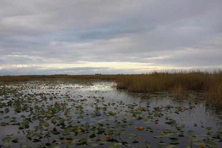 El agua quieta y poco profunda de los pantanos, ciénagas,canales y zanjas también pueden ser un buen hábitat para los lirios acuáticos.