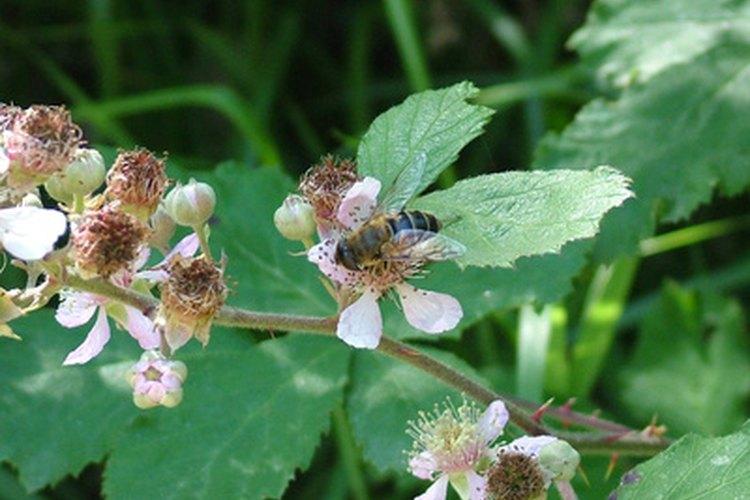 Las abejas son el manjar favorito de algunas aves.