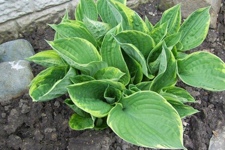 Las hostas son plantas que aman la sombra para crecer sus hojas elegantes.