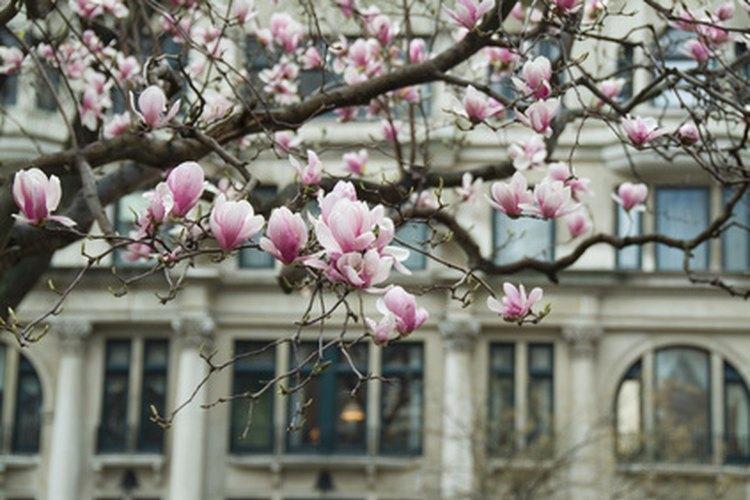 Los árboles de magnolias pueden producir problemas en los cimientos de las casas.