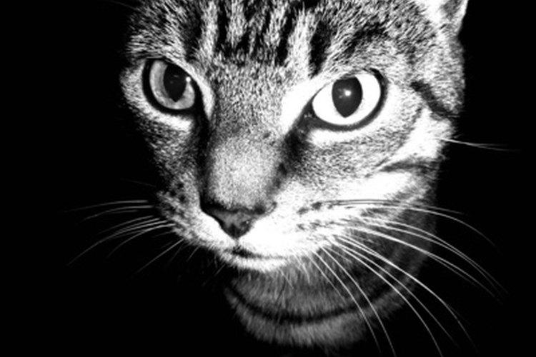 Los gatos machos pueden ser alterados con éxito a cualquier edad.