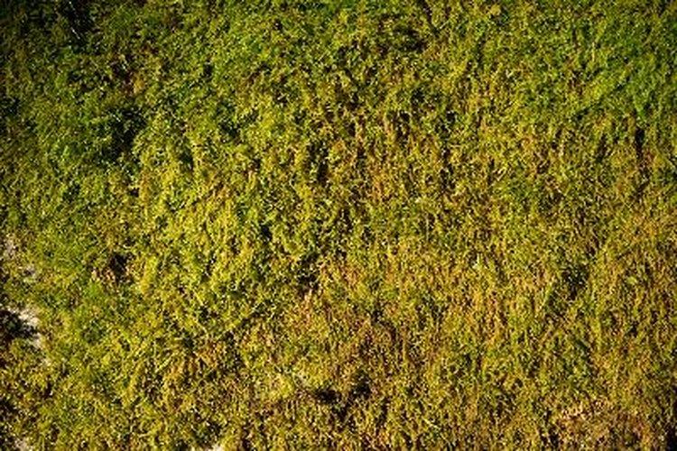Los musgos Andreaeopsida crecen en climas fríos.