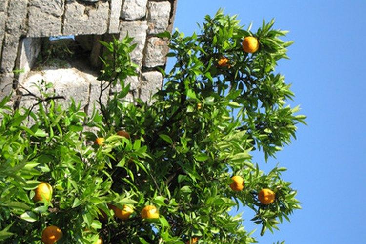 Todos los árboles cítricos se benefician con varias alimentaciones cada año.